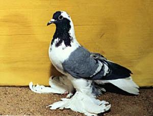 Мраморный чеграш голубь фото
