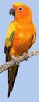 солнечный аратинга (Aratinga solstitialis), фото, фотография