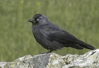 галка (Corvus monedula), фото, фотография