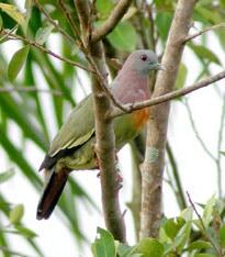 зеленый розовошейный голубь (Treron vernans), фото, фотография