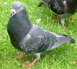 бурый голубь, голубь бурый (Columba eversmanni), фото фотография, птицы голуби