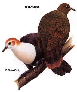 белогорлый голубь, куриный белогорлый голубь (Gallicolumba xanthonura), фото, фотография
