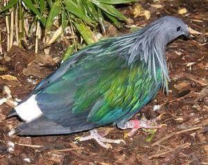 рябчиковый голубь, сливоголовый голубь, синеголовый земляной голубь (Starnoenas cyanocephala), фото, фотография