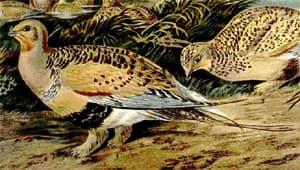 саджа, копытка, бульдрюк (Syrrhaptes paradoxus), фото, фотография