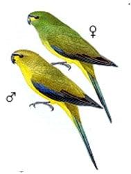 элегантный попугайчик, украшенный попугайчик, украшенный травяной попугайчик (Neophema elegans), фото, фотография