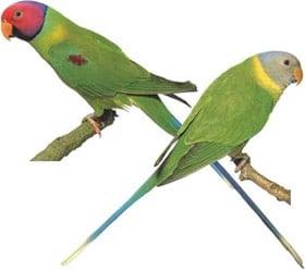 сливоголовый попугай (Psittacula cyanocephala), фото, фотография