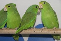 воробьиный попугайчик, зеленохвостый воробьиный попугай (Forpus passerinus), фото, фотография