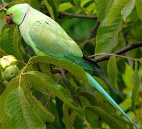 ожереловый попугай Крамера, индийский кольчатый попугай, кольчатый попугай, малый кольчатый попугай (Psittacula krameri), фото, фотография