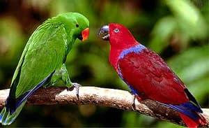 благородный попугай, желтоспинный щебечущий лори, двухцветный попугай, зелено-красный попугай (Lorius roratus, Eclectus roratus), фото, фотография