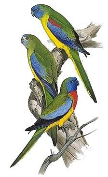 лазурный попугайчик, лазурный травяной попугайчик (Neophema pulchella), фото, фотография