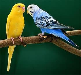 волнистый попугай (Melopsittacus undulatus), фото, фотография