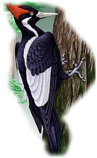 белоклювый дятел, дятел белоклювый (Campephilus principalis), фото, фотография