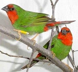 красноголовая попугайная амадина, амадина попугайная (Erythrura psittacea), фото, фотография