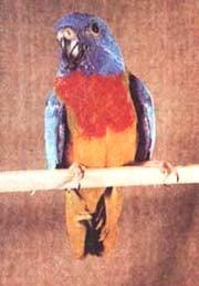 травяной попугайчик, фото, фотография
