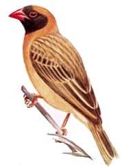 красноклювый ткачик, ткачик красноклювый (Quelea quelea), фото, фотография