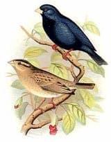 сенегальский стальной ткачик, ткачик стальной сенегальский (Hypochera chalybeata), фото, фотография