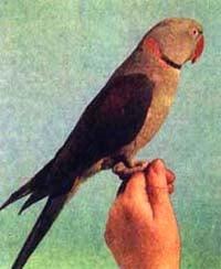 кольчатый попугай, александрийский попугай, большой ожереловый попугай (Psittacula eupatria), фото, фотография