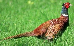 фазан обыкновенный, обыкновенный фазан (Phasianus colchicus), фото, фотография