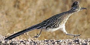 земляная кукушка, кукушка земляная (Geococcyx californicus), фото, фотография