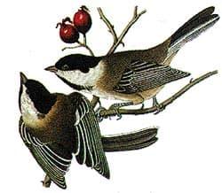 буроголовая гаичка, гаичка бурологовая (Poecile montanus), фото, фотография