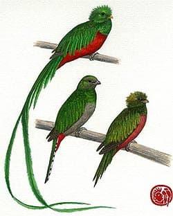 гватемальский квезал, квезал гватемальский (Pharomachrus mocino), фото, фотография с http://conabio.gob.mx