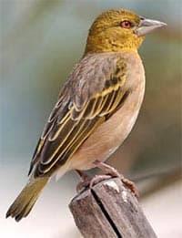 деревенский ткачик, ткачик деревенский (Ploceus cucullatus), фото, фотография с http://oiseaux-nature.com