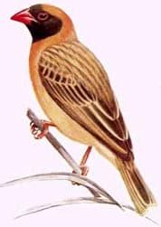 красноклювый ткачик, квелия, ткачик красноклювый (Quelea quelea), фото, фотография с http://welshmountainzoo.org