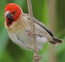 красноголовый ткачик, ткачик красноголовый (Quelea erythrops), фото, фотография с http://farm1.static.flickr.com