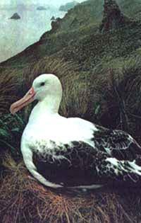 белоспинный альбатрос, альбатрос белоспинный (Diomedea albatrus), фото, фотография с http://nature.ok.ru