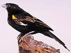белокрылый ткачик, ткачик белокрылый (Euplectes albonotatus), фото, фотография с http://dkimages.com