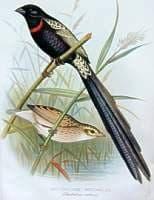 краснозобый ткачик, ткачик краснозобый (Euplectes ardens), фото, фотография