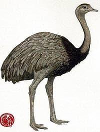 нанду северный (rhea americana), фото, фотография с http://conabio.gob.mx