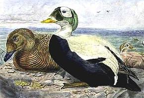 очковая гага, гага очковая (Somateria fischeri), фото, фотография с http://oiseaux.net