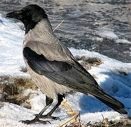 серая ворона, ворона серая (Corvus cornix), фото, фотография с http://birds.kz