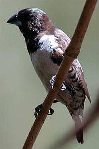 бронзовокрылая амадина, амадина бронзовокрылая (Spermestes cucullata), фото, фотография с http://design2d.co.uk