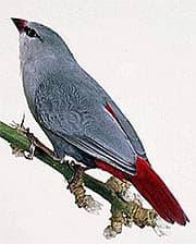 краснохвостый астрильд, астрильд краснохвостый (Estrilda caerulescens), фото, фотография с http://dkimages.com