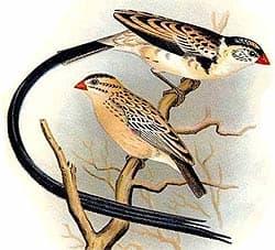 доминиканская вдовушка, вдовушка доминиканская (Vidua macroura), фото, фотография с http://oiseaux.net