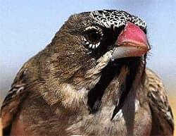усатый ткачик, ткачик усатый (Sporopipes squamifrons), фото, фотография