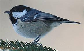московка, черная синица, малая синица (Parus ater), фото, фотография с http://ruchet.com