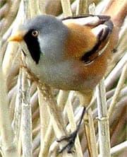 усатая синица, бородатка, синица усатая (Panurus biarmicus), фото, фотография с http://univ-ubs.fr