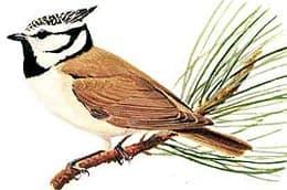 хохлатая синица, гренадерка, синица хохлатая (Parus cristatus), фото, фотография с http://ecosystema.ru