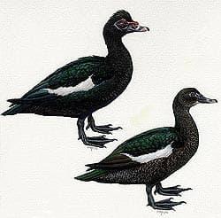 мускусные утки, утки мускусные (Cairina moschata), фото, фотография с http://conabio.gob.mx