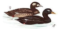 черный турпан, турпан черный (Melanitta fusca), фото, фотография