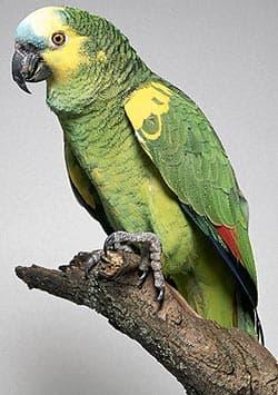 синелобый амазон, красноплечий амазон, амазон синелобый (Amazona aestiva), фото, фотография