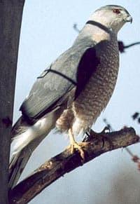 ястреб Купера (Accipiter cooperii), фото, фотография
