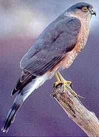 полосатый ястреб, ястреб полосатый (Accipiter striatus), фото, фотография с http://coffeecreekwc.org