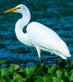 Большая белая цапля (Ardea alba) белая цапля, ареал описание окрас ...