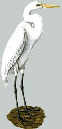 белая большая цапля (Ardea alba), фото, фотография