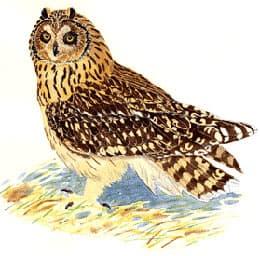 Болотная сова сова болотная asio flammeus ареал описание окрас  болотная сова сова болотная asio flammeus фото фотография с