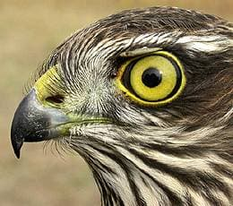 голова ястреба-перепелятника (Accipiter nisus), фото, фотография с http://panoramio.com/